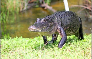 L'alligatore della Florida, il coccodrillo americano, ora non più a rischio estinzione!
