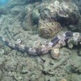 Hemiscyllium-halmahera-nuovo-squalo-indonesia