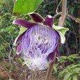 Passiflora-longifilamento