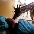 bacio-giraffa