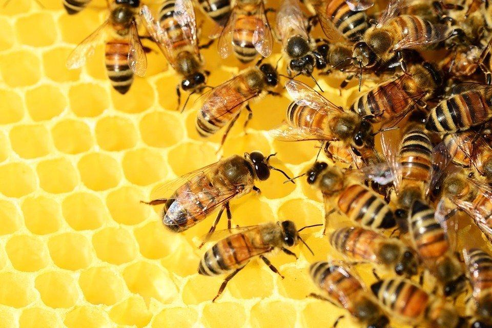 api-mellifere