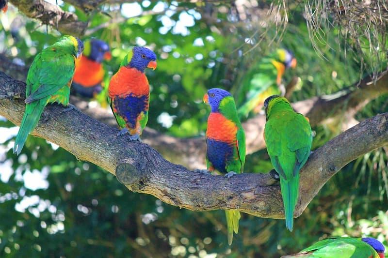 lorichetti-arcobaleno-australia
