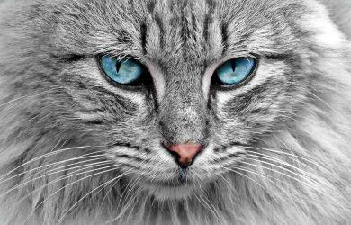 Scopri la razza del tuo gatto!
